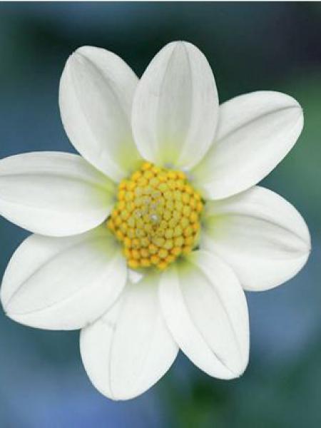 Dahlia Gpe Topmix -blanc-