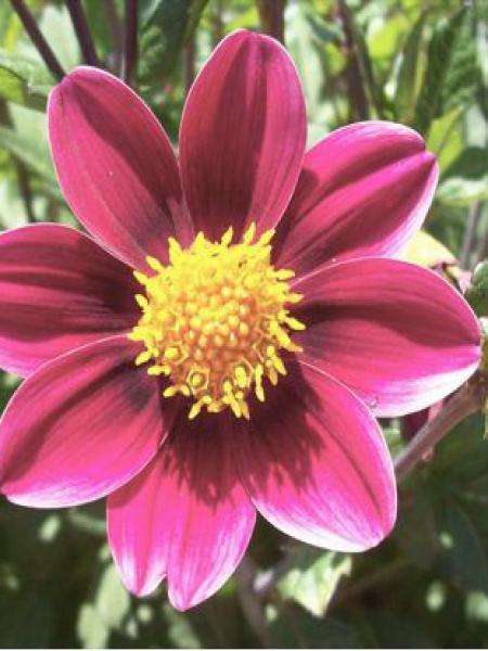 Dahlia Gpe Topmix -rose-