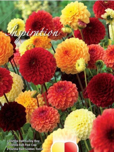 Dahlia  'Melange Nuances de rouge, orange e