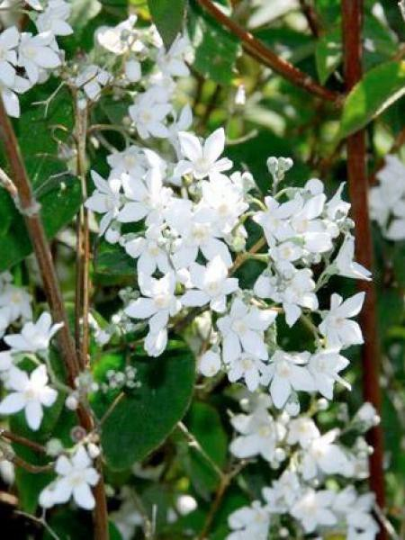 Deutzia gracilis