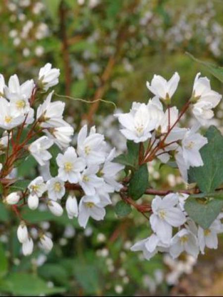 Deutzia x rosea 'Campanulata'