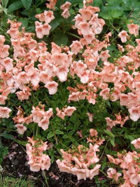 Diascia  'Blackthorn Apricot'