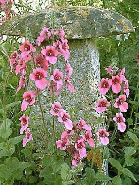 Diascia fetcaniensis