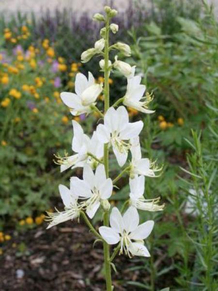 Dictamnus albus 'Albiflorus'