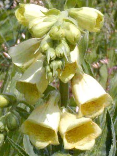 Digitale à grandes fleurs