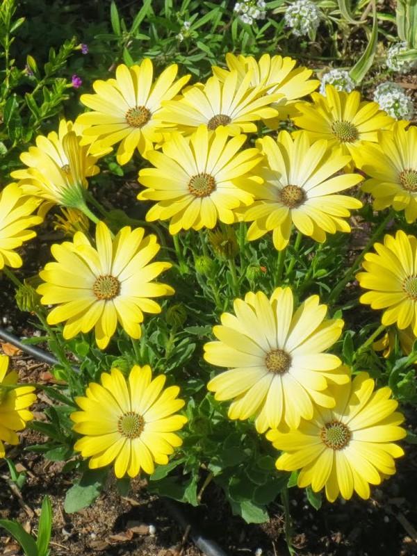 Dimorphoteca aurantiaca 'Serenity Lemonade'