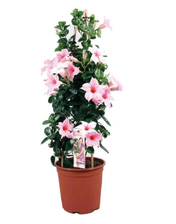 Dipladénia Sundaville® 'Cream Pink'