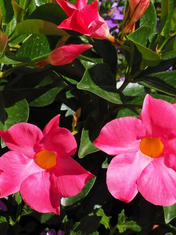 Dipladénia Sundaville® 'Rose Foncé'
