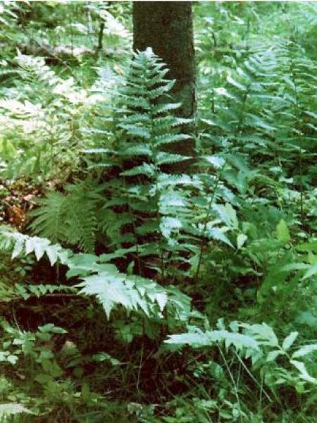 Dryopteris claytoniana