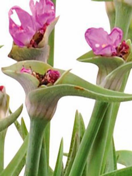 Ephémère de Virginie 'Swallowtail'®