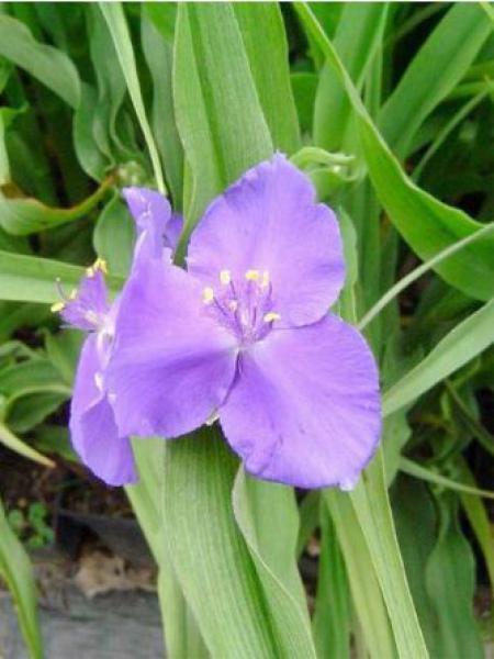 Ephémère de Virginie 'Zwanenburg Blue'