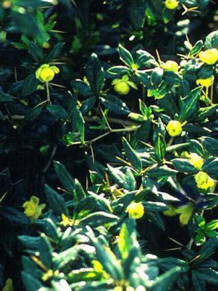 Épine-vinette à feuilles persistantes 'Amstelveen'