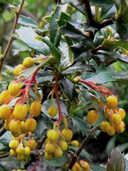 Épine-vinette à feuilles persistantes 'Telstar'
