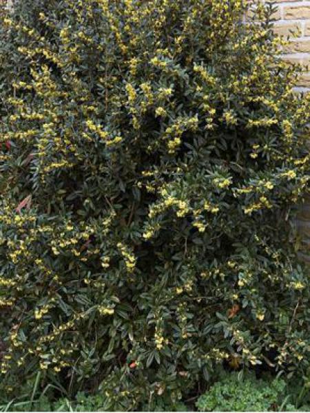 Épine-vinette à feuilles persistantes