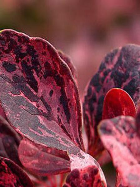 Épine-vinette de Thunberg 'Rose Glow'