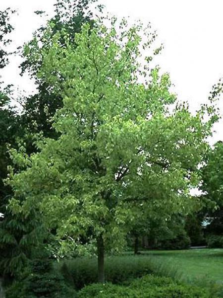 Érable à feuille de frène panaché 'Aureomarginatum'