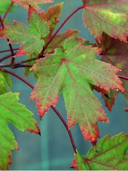 Érable 'Autumn Blaze'