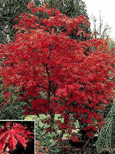 Érable du Japon à feuilles d'aconit