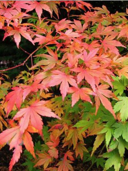 Érable du Japon 'Sango Kaku'