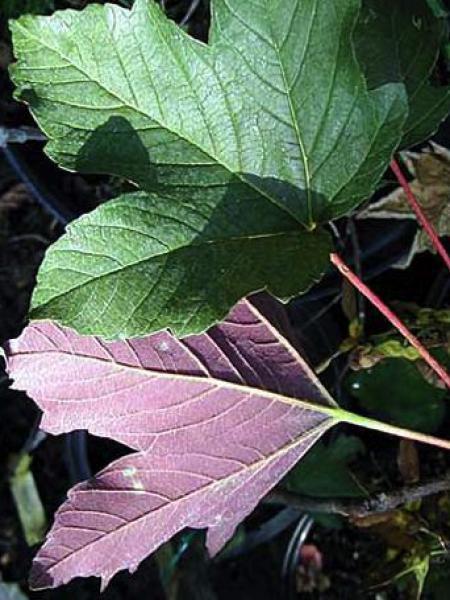 Érable sycomore 'Atropurpureum'