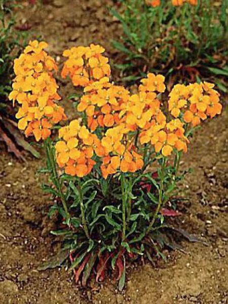 Erysimum allionii 'Orange Queen'