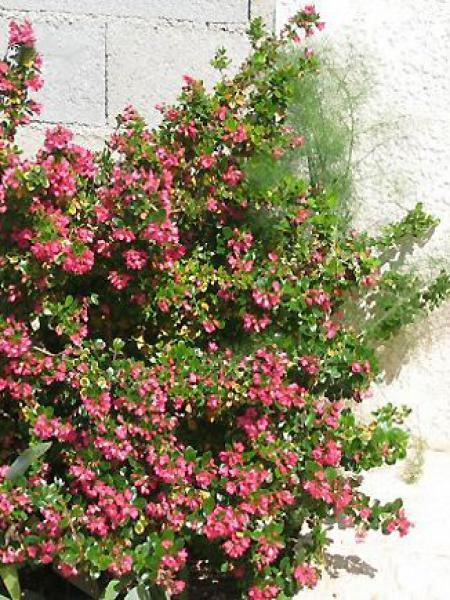 Escallonia macrantha 'Rubra'