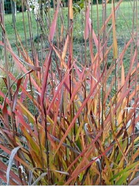 Eulalie, Roseau de Chine 'Purpurescens'