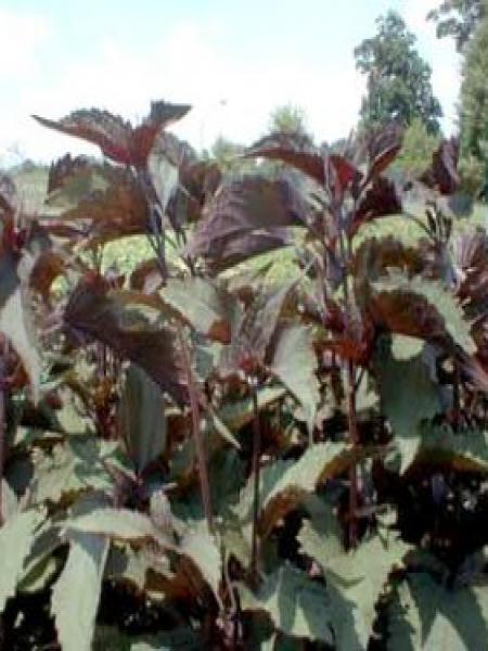 Eupatoire à feuilles molles 'Chocolate'