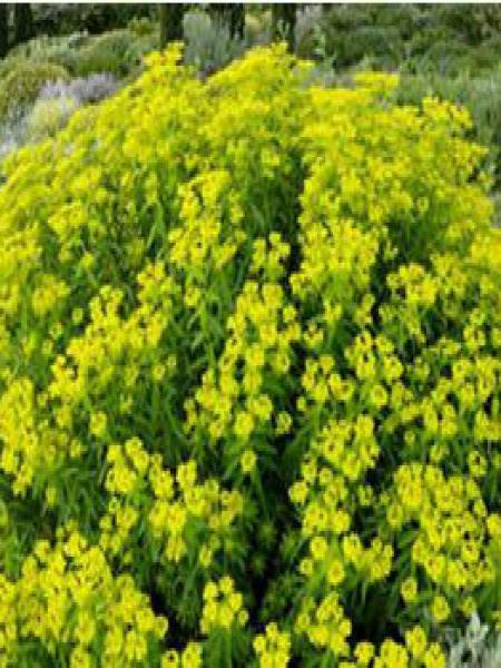 Euphorbe de Sicile