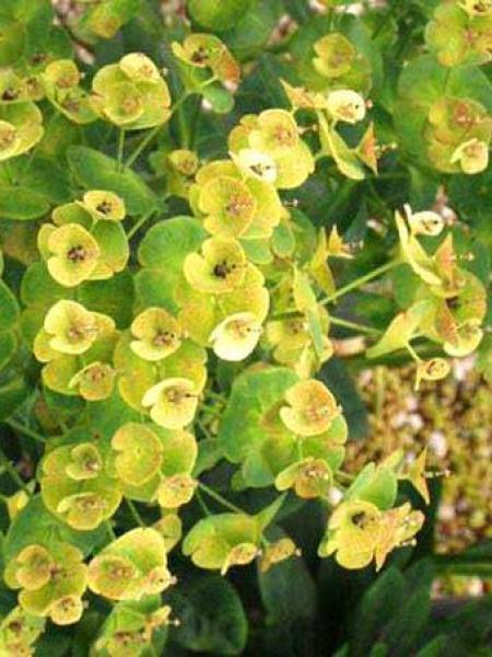 Euphorbe des bois 'Robbiae'