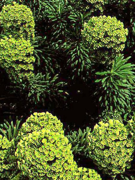euphorbe des vallons wulfenii euphorbia characias wulfenii le jardin du pic vert. Black Bedroom Furniture Sets. Home Design Ideas