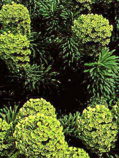Euphorbe des vallons wulfenii