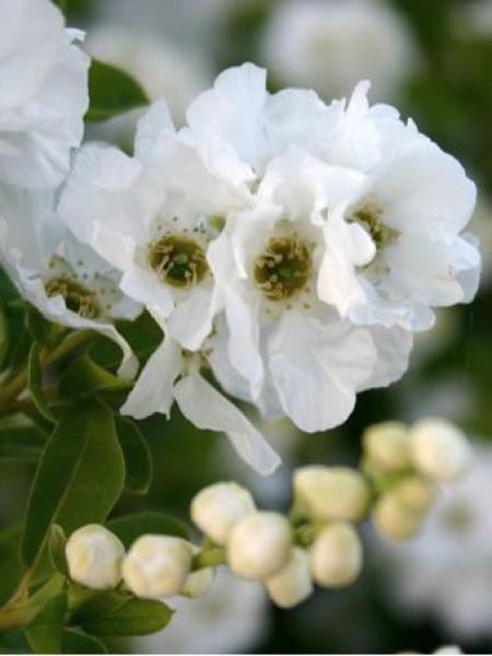 Exochorda racemosa 'Niagara'