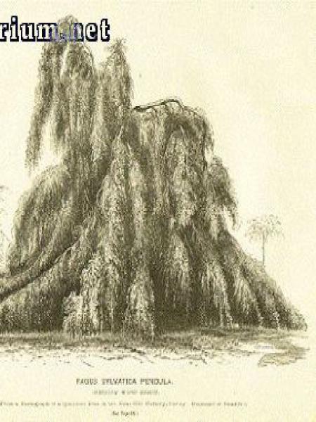 Fagus sylvatica 'Pendula'