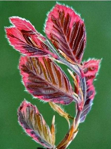 Fagus sylvatica 'Purpurea Tricolor'