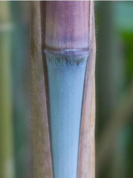 Fargesia dracocephala 'Blue Dragon'