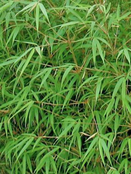 Fargesia dracocephala 'Green Dragon'