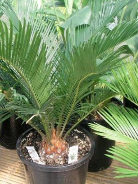 Faux palmier du Japon
