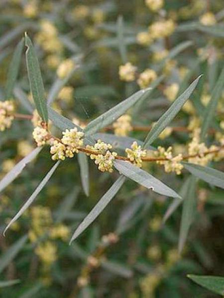 Filaria angustifolia