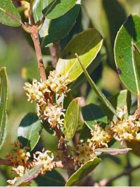 Filaria latifolia