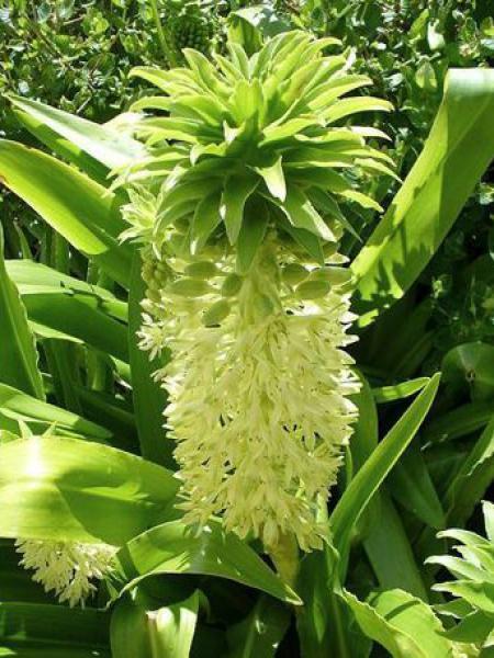 Fleur ananas d'automne
