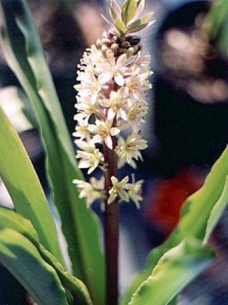 Fleur ananas