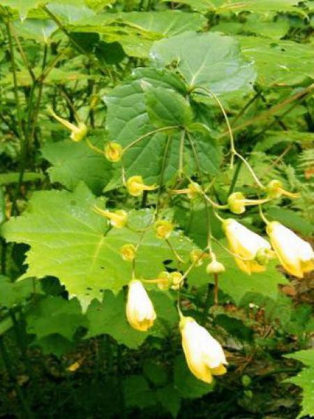 Fleur de cire de Corée