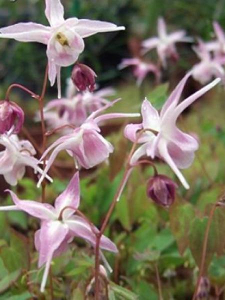 Fleur des elfes à grandes fleurs 'Akebono'