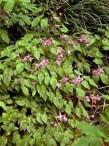 Fleur des elfes à grandes fleurs 'Lilafee'