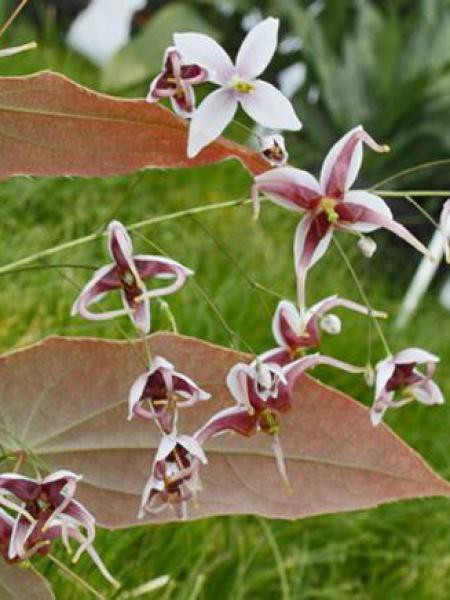 Fleur des elfes acuminatum