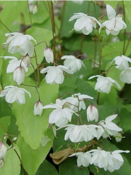 Fleur des elfes 'Alabaster'