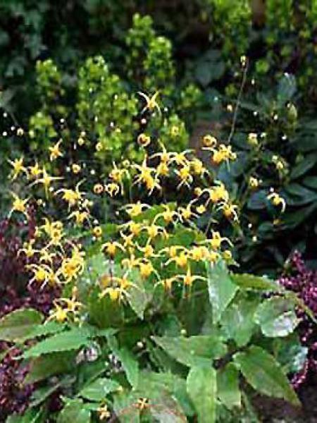 Fleur des elfes 'Amber Queen'