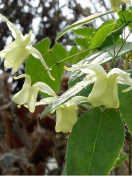 Fleur des elfes 'Flowers of Sulphur'