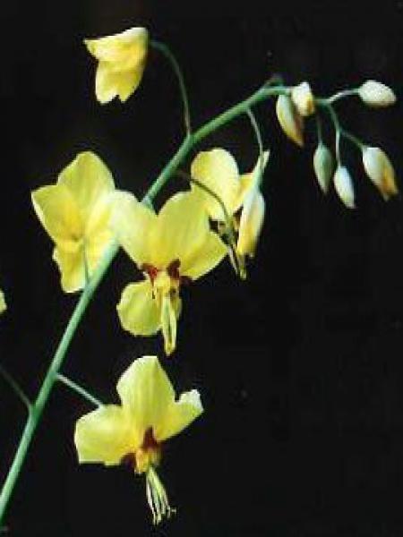 Fleur des elfes 'Fröhnleiten'